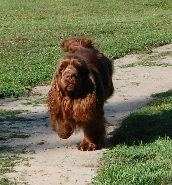 Sussex Spaniels Sussex Puppies Remedi Sussex