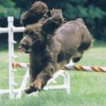 "Ch Remedi's Amethyst AO AOJ  ""Tootsie"" 9/11/1998 - 11/8/2010  Tootsie was the first Sussex in the History of the breed to achieve Agility Titles"