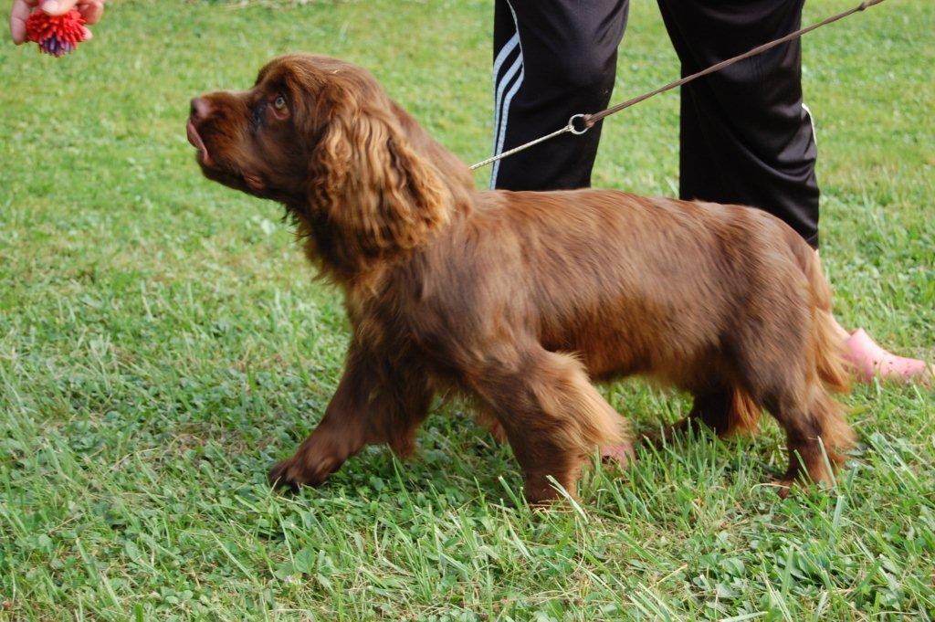 Sussex Spaniels, Sussex puppies, Remedi Sussex